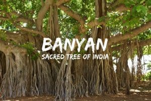 Banyan, sacred tree of India