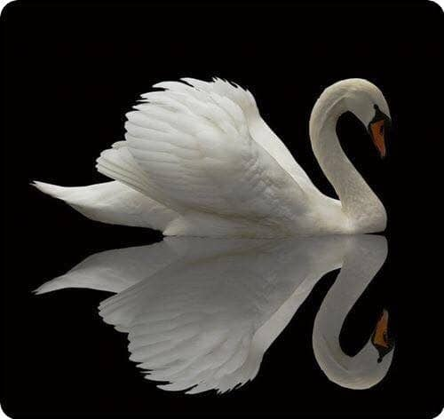 The path - swan - Saraswati